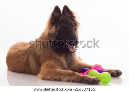 owczarek · belgijski · psa · stałego · portret · ciemne · cień - zdjęcia stock © avheertum