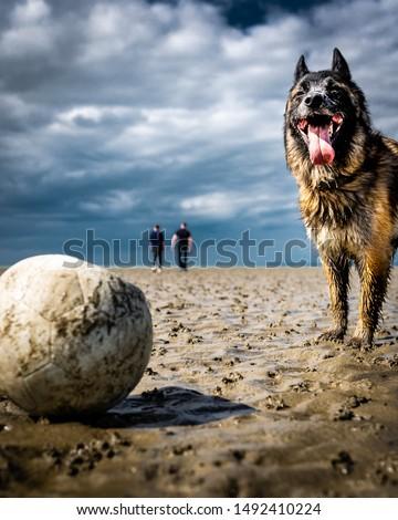 Köpek oturma kum bakıyor kamera Stok fotoğraf © AvHeertum