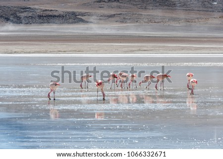 pink flamingos in laguna honda sud lipez altiplano reserva bol stock photo © daboost
