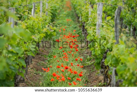 Bordeaux wine region in france poppies in the vineyard countrysi Stock photo © FreeProd
