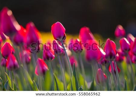 желтый розовый тюльпаны свежие весны Сток-фото © neirfy