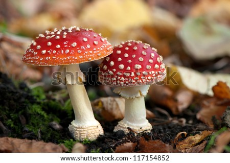 amanita muscaria fly agaric mushroom in a sunny forest in the r stock photo © cookelma
