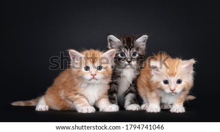 row of three maine coon cats kittens isolated on black background stock photo © catchyimages