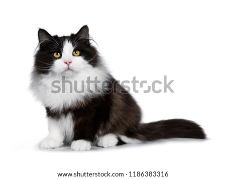 Adorable black smoke Siberian cat kitten, isolated on white background Stock photo © CatchyImages