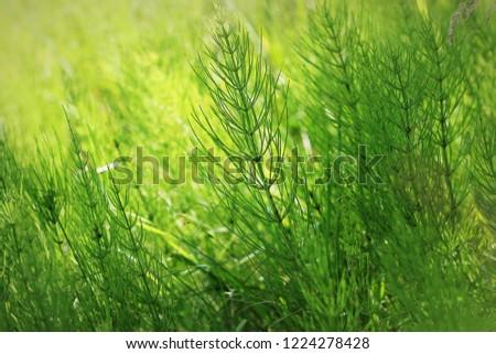Wild plants - green background of horsetail or Tolkachik Equisetum arvense - Common Horsetail in spr Stock photo © galitskaya