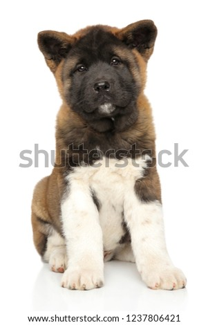 Portrait of an adorable american Akita Stock photo © vauvau