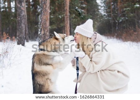 Affectionate and cute purebred siberian husky dog licking mouth of his owner Stock photo © pressmaster
