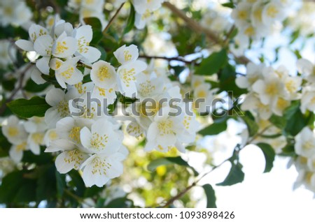 The white flowers and deep green leaves of mock-orange against light blue sky stock photo © Traven