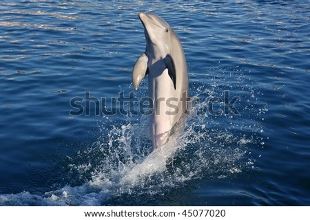 dolphin acrobacy during dolphins show in caribbean sea beauty stock photo © lunamarina