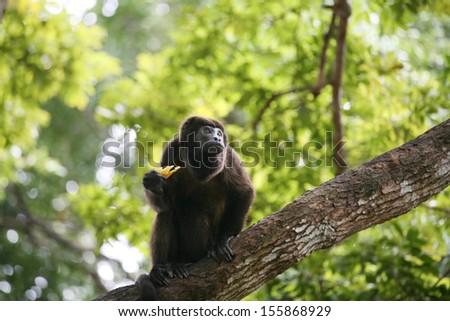 クモ 猿 パナマ 食べ バナナ ジャンプ ストックフォト © dacasdo