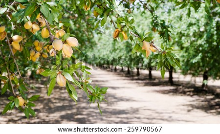Almond Nuts Tree Farm Agriculture Food Production Orchard Califo Stock photo © cboswell