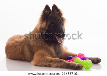 belgian shepherd tervuren puppy standing white studio backgroun stock photo © avheertum