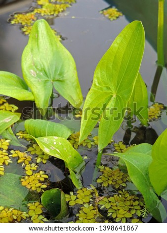 Floating leaves of Sagittaria natans aquatic plant with a spider and two beetles Stock photo © Mps197