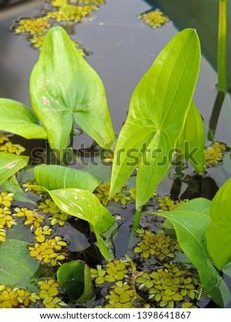 flutuante · folhas · aquático · planta · aranha · dois - foto stock © Mps197