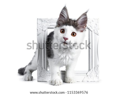 Huncut kék fehér Maine macska kiscica Stock fotó © CatchyImages