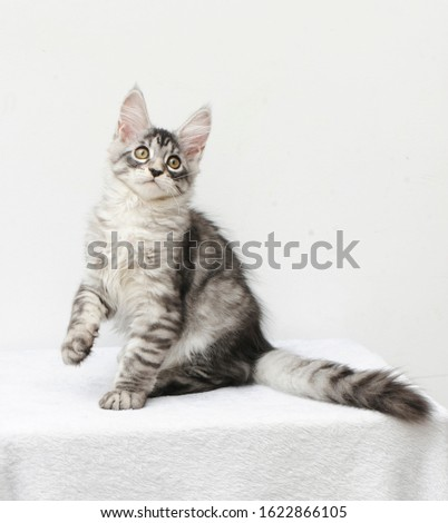 Cute cream silver Maine Coon cat kitten isolated on black background Stock photo © CatchyImages