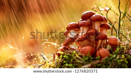 armillaria mushrooms of honey agaric in a sunny forest in the ra stock photo © cookelma