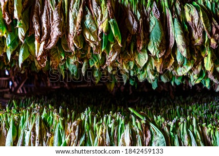Tobacco drying, inside a shed or barn for drying tobacco leaves  Stock photo © Arsgera