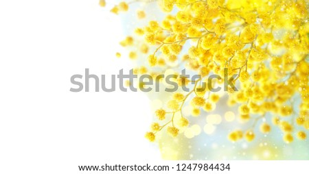 Yellow mimosa flower. Mimosa flower symbol of Womens Day. Congratulations on March 8. Russian text l Stock photo © orensila