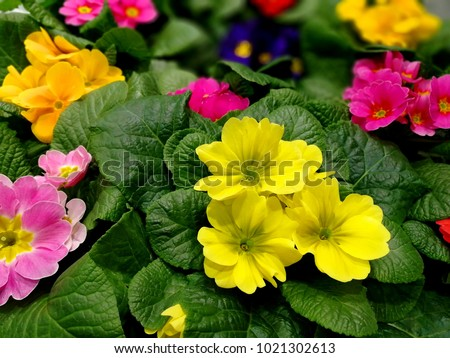 Perennial primrose or primula in the spring garden. Spring primroses flowers, primula polyanthus. Th Stock photo © Virgin