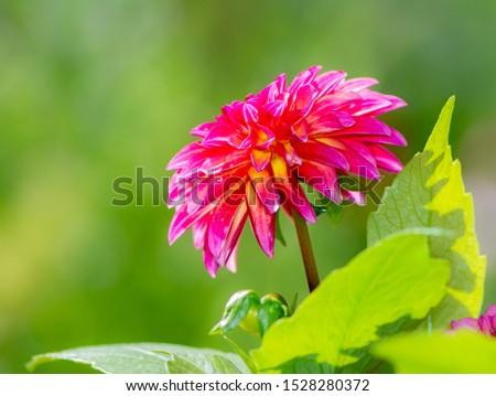 Blauw · paars · dahlia · bloem · bloeien - stockfoto © manfredxy