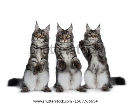 Row of three Maine Coon cat kittens, isolated on white background Stock photo © CatchyImages