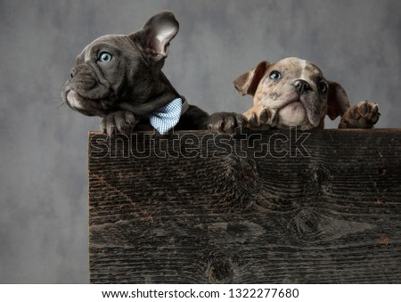 curious  puppy wearing bowtie standing with its brother in  box Stock photo © feedough