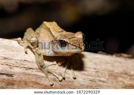 güzel · küçük · kurbağa · Madagaskar · tür - stok fotoğraf © artush