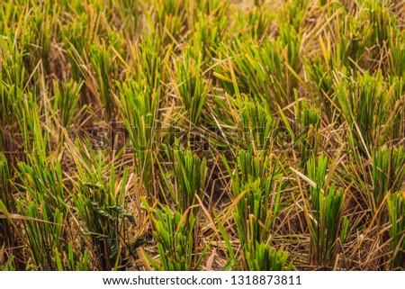 Hasat pirinç alan anız su gıda Stok fotoğraf © galitskaya