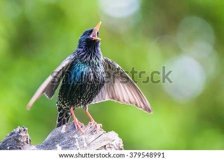 Common starling or European starling or Sturnus vulgaris bird seamless watercolor birds painting bac Stock photo © shawlinmohd