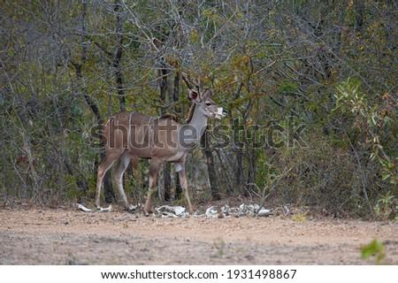 Female Kudu chewing on a bone. Stock photo © simoneeman