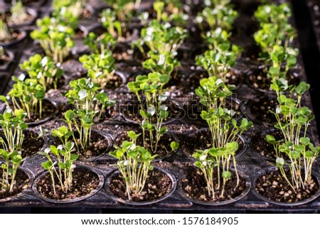 Muchos pequeño minúsculo plántulas lechuga otro Foto stock © pressmaster