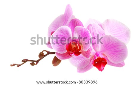 Flower beautiful pink orchid - phalaenopsis isolated over white Stock photo © tetkoren