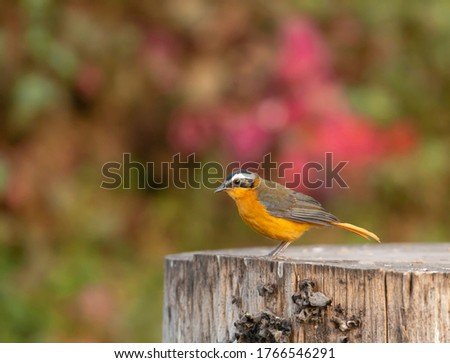 White-browed robin-chat (Cossypha heuglini) standing on the edge stock photo © davemontreuil