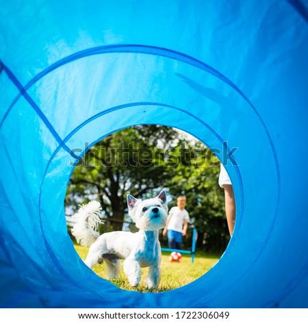Cute little dog doing agility drill - running slalom, being obed Stock photo © lightpoet