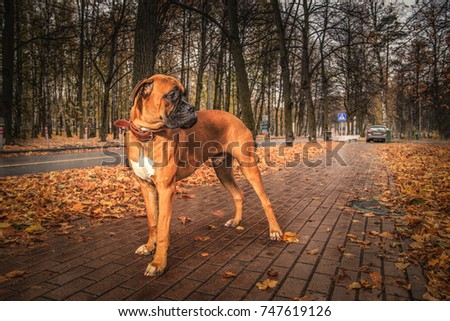 Dog breed boxer red color lies in the winter in the snow, a port Stock photo © goroshnikova