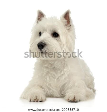west highland white terrier lying on the white studio floor stock photo © vauvau