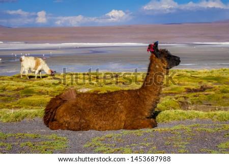 lamas herd in laguna colorada sud lipez altiplano reserva boli stock photo © daboost