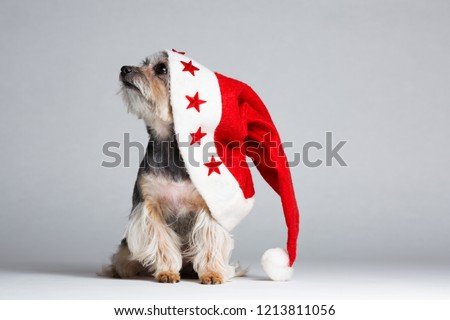 Curioso yorkshire terrier papai noel lado Foto stock © feedough