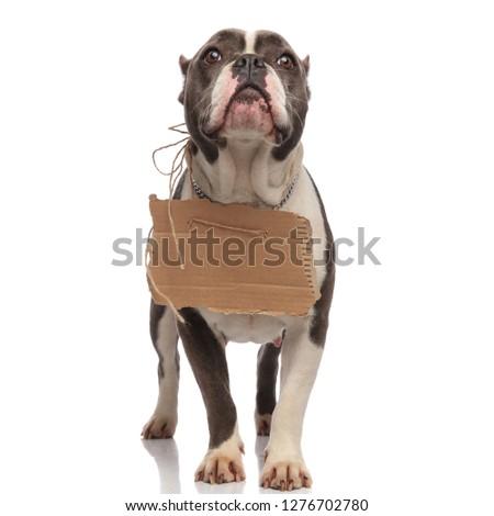 curious american bully wearing empty billboard around neck looks Stock photo © feedough