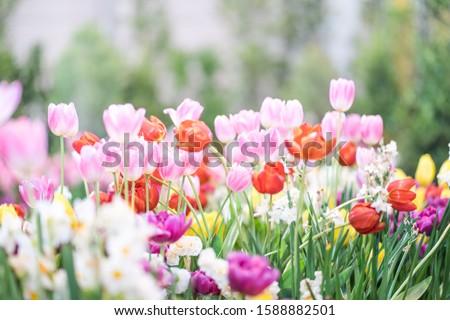 ágak · friss · rózsaszín · virágok · reggel · napfény - stock fotó © marylooo