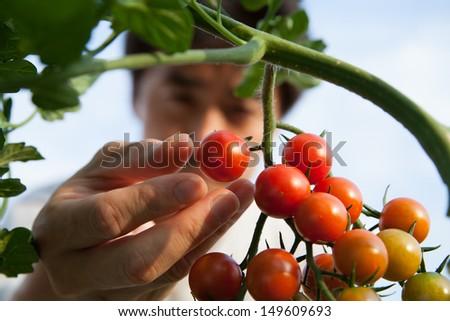 Farmer controlling growth of tomato plants in vegetable garden Stock photo © stevanovicigor