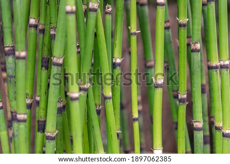 green equisetum background stock photo © simply