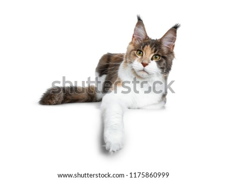Stock photo: Sweet bicolor high white Maine Coon cat girl, isolated on white background