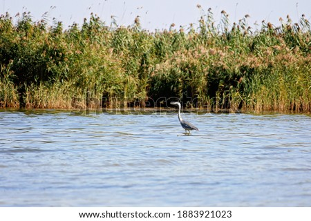 Grey Heron hunting in a river - wildlife in its natural habitat Stock photo © lightpoet