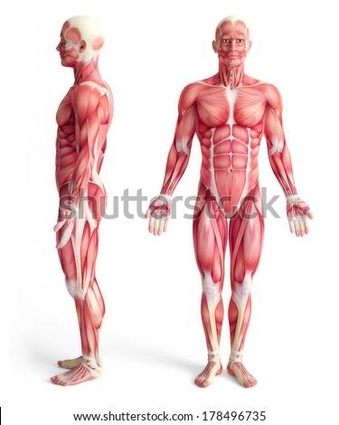 Ilustração anatomia humana homem branco masculino corpo Foto stock © designer_things