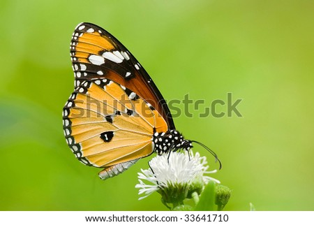 milkweed butterfly anosia chrysippus danaidae feeding on flow stock photo © ansonstock