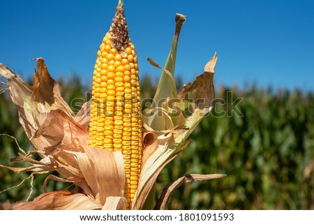 Farmers Ear Corn Stalk Crop Cob in Husk Produce Food Commodity Stock photo © cboswell