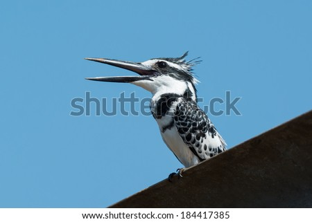 A happy male Pied Kingfisher (Ceryle rudis) calling out a greeti Stock photo © davemontreuil