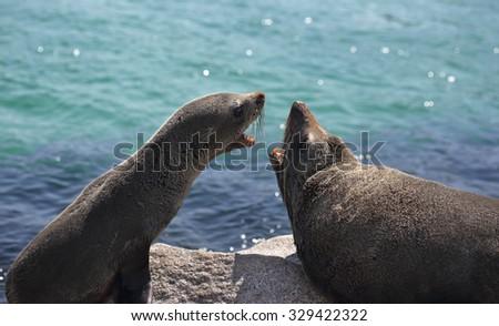Australian fur seal (Arctocephalus pusillus) Stock photo © dirkr
